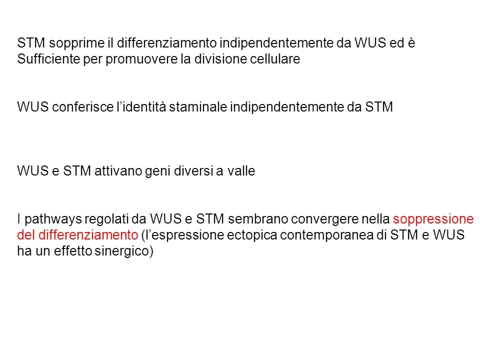 STM sopprime il differenziamento indipendentemente da WUS ed è
