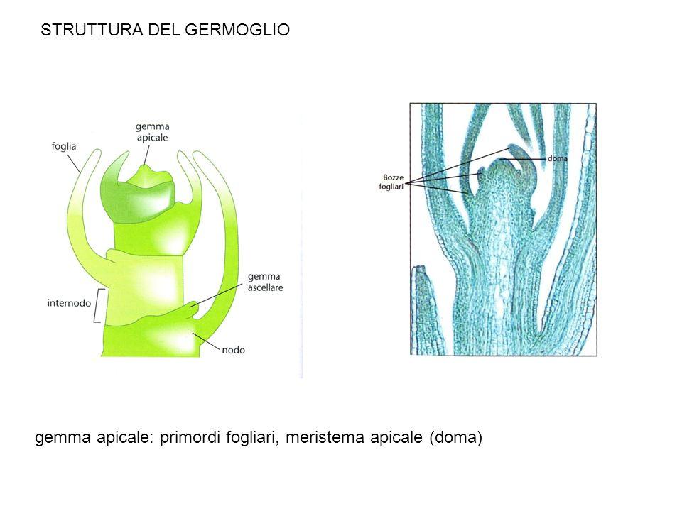 STRUTTURA DEL GERMOGLIO