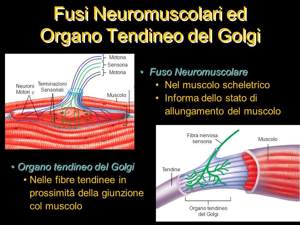 Fusi Neuromuscolari ed Organo Tendineo del Golgi
