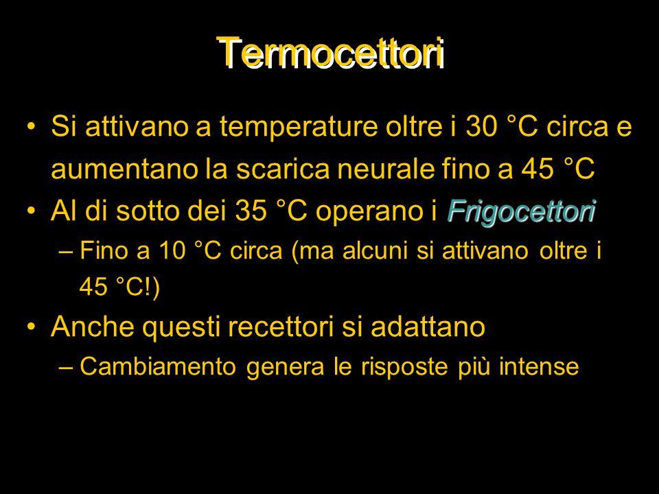 Termocettori Si attivano a temperature oltre i 30 °C circa e aumentano la scarica neurale fino a 45 °C.