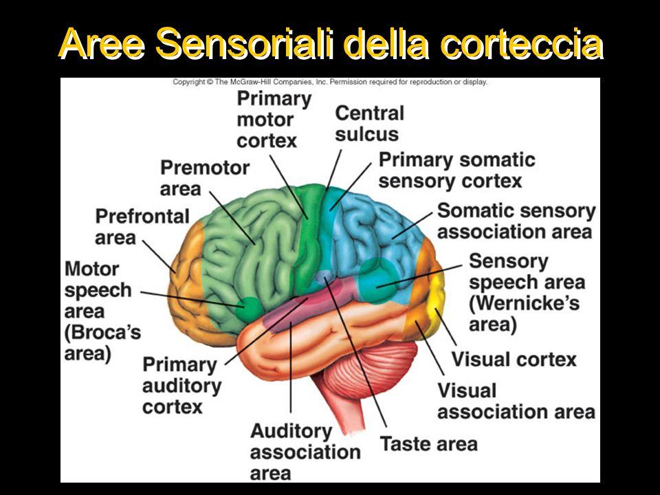 Aree Sensoriali della corteccia