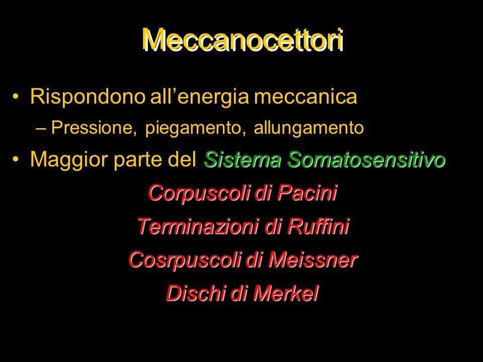 Meccanocettori Rispondono all'energia meccanica