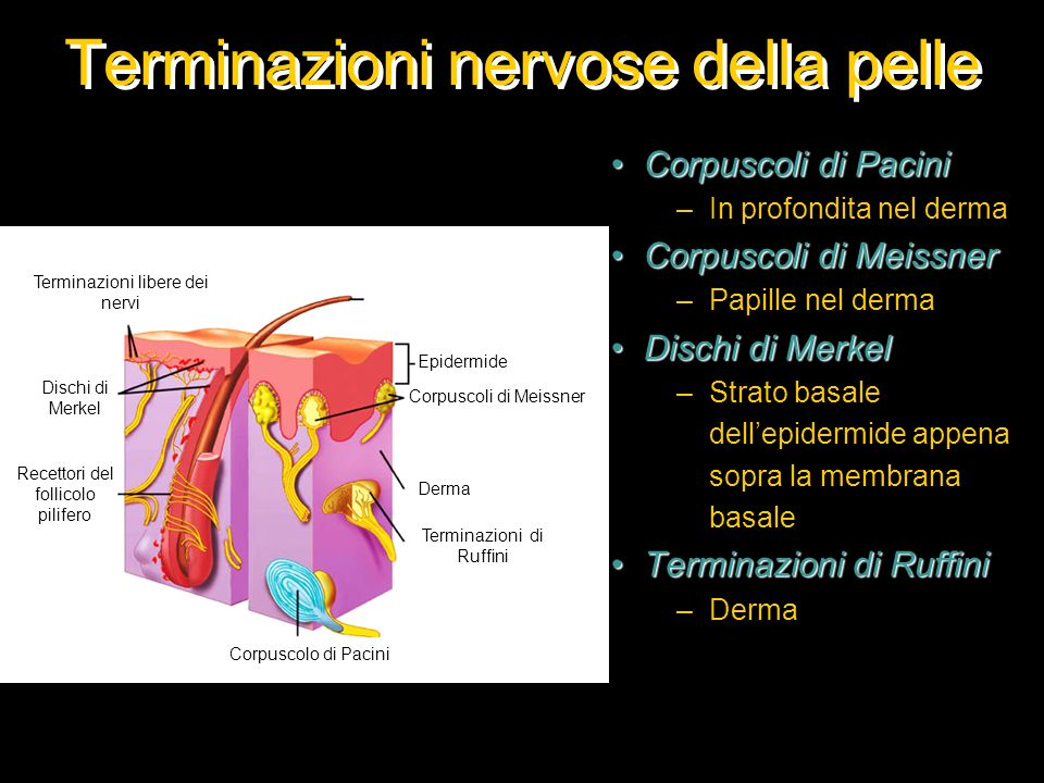 Terminazioni nervose della pelle