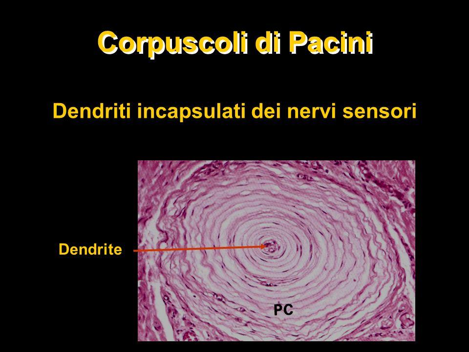 Dendriti incapsulati dei nervi sensori