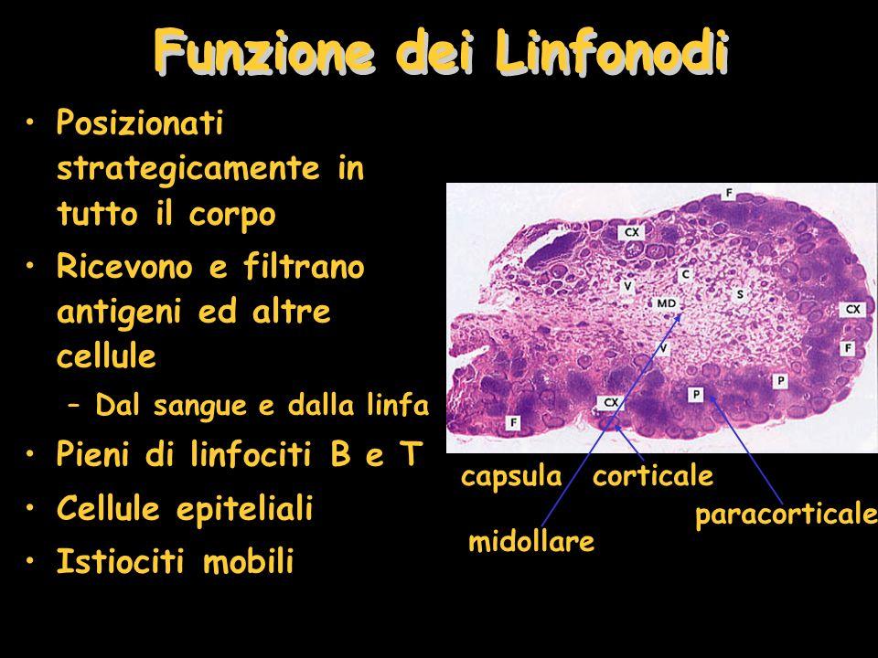 Funzione dei Linfonodi