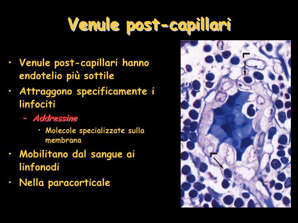 Venule post-capillari
