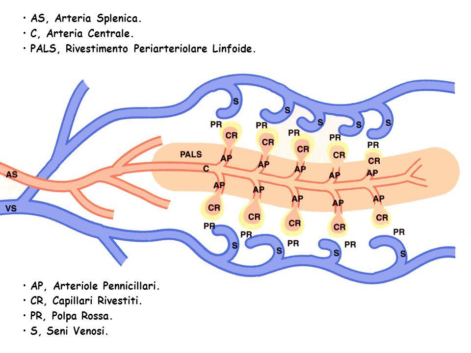 AS, Arteria Splenica. C, Arteria Centrale. PALS, Rivestimento Periarteriolare Linfoide. AP, Arteriole Pennicillari.