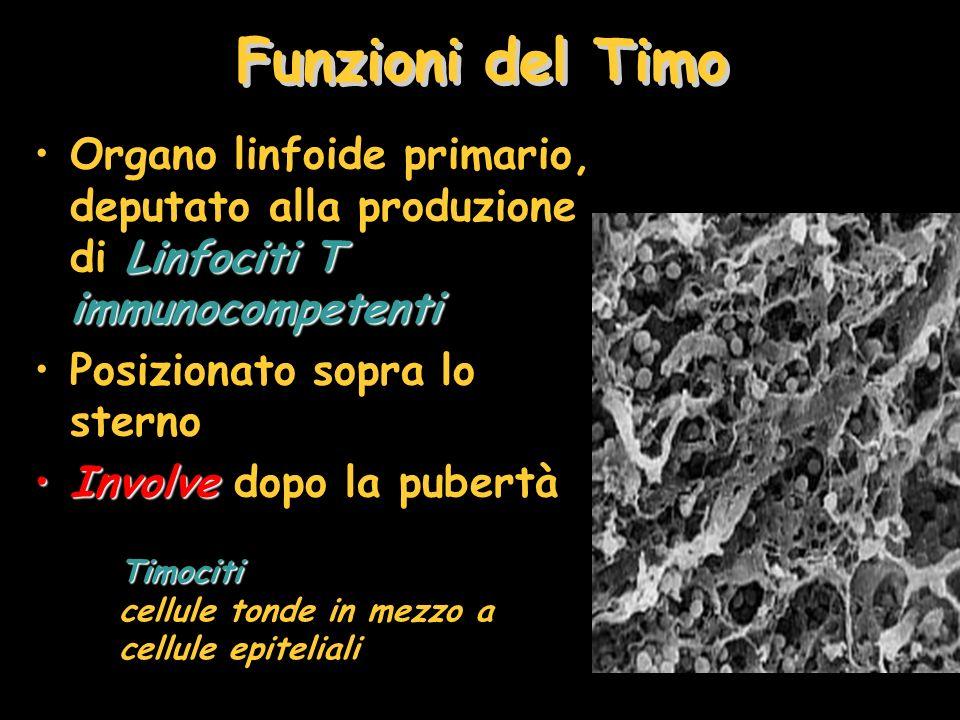 Funzioni del Timo Organo linfoide primario, deputato alla produzione di Linfociti T immunocompetenti.