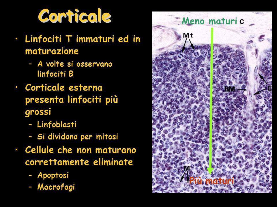 Corticale Meno maturi Linfociti T immaturi ed in maturazione
