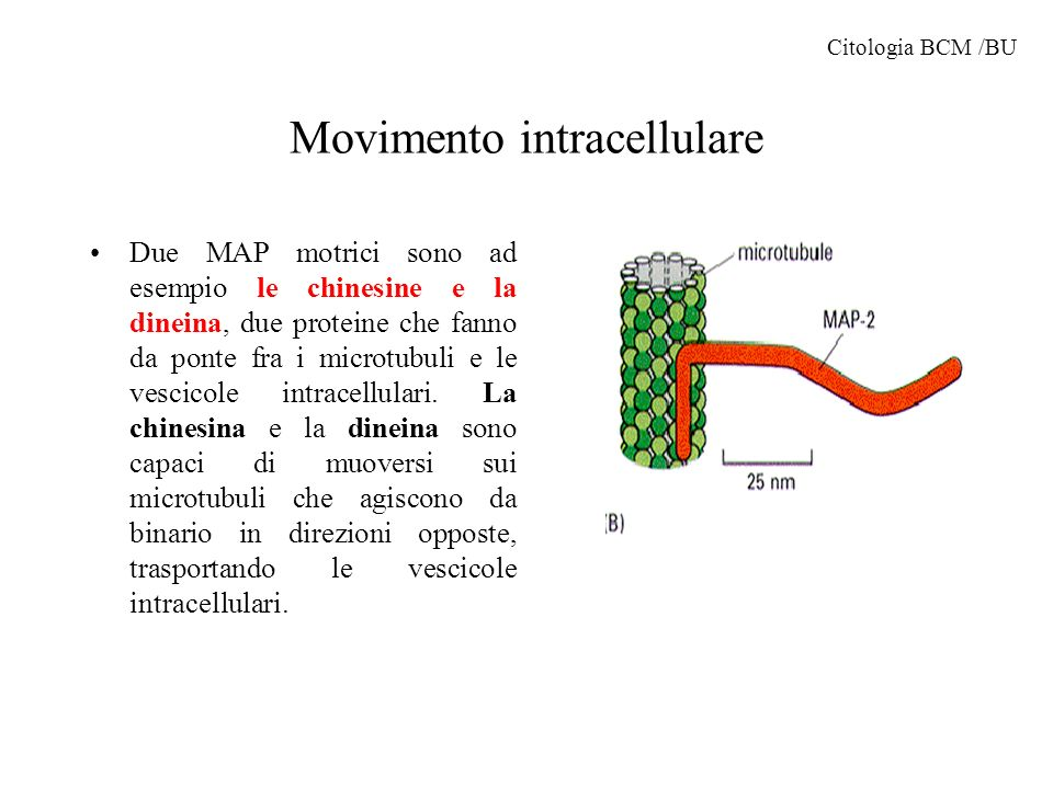 Movimento intracellulare