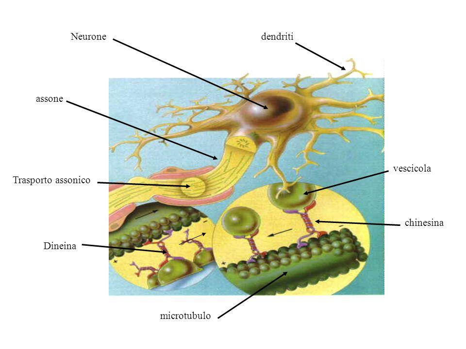 Neurone dendriti assone vescicola Trasporto assonico chinesina Dineina microtubulo
