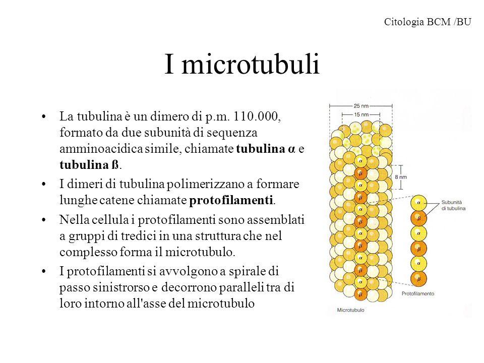 Citologia BCM /BU I microtubuli.