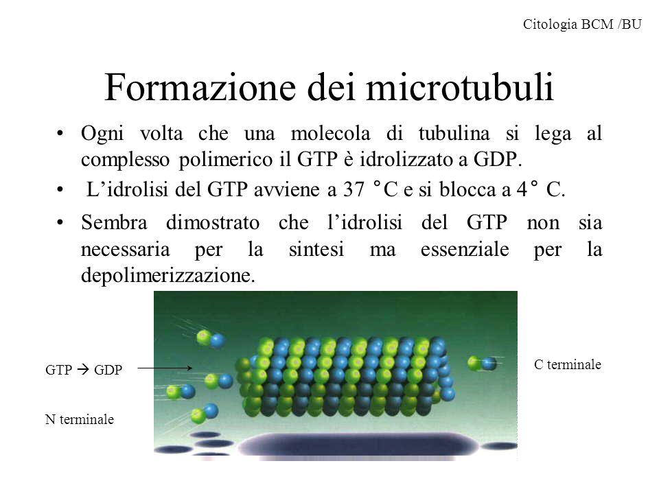 Formazione dei microtubuli