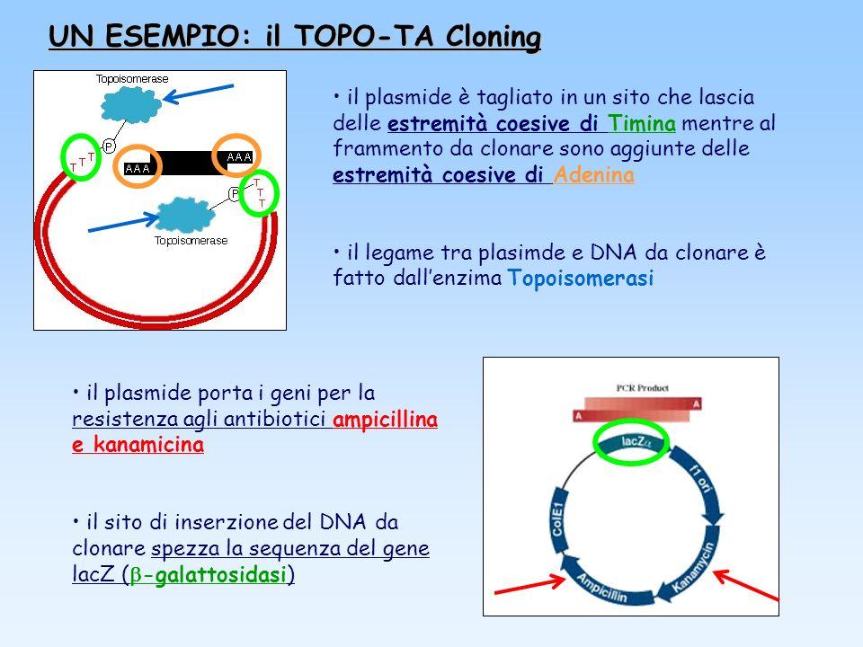 UN ESEMPIO: il TOPO-TA Cloning