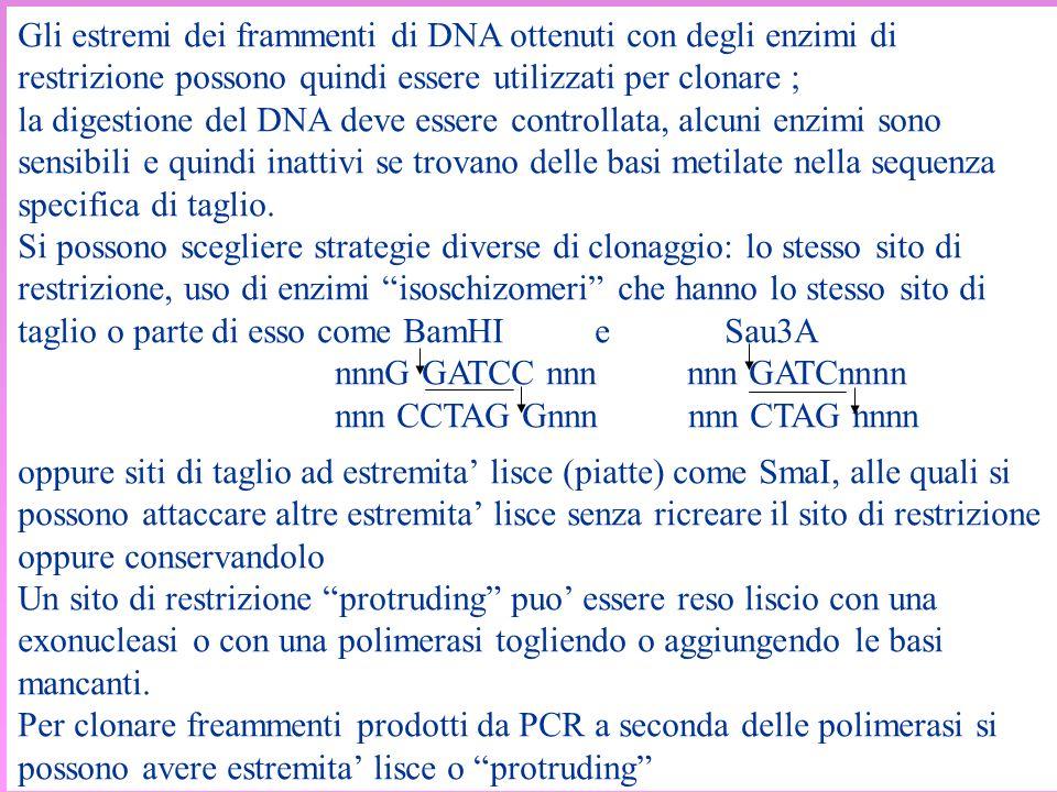 Gli estremi dei frammenti di DNA ottenuti con degli enzimi di restrizione possono quindi essere utilizzati per clonare ;