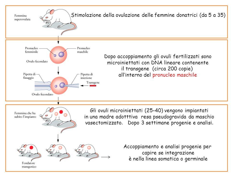 Stimolazione della ovulazione delle femmine donatrici (da 5 a 35)