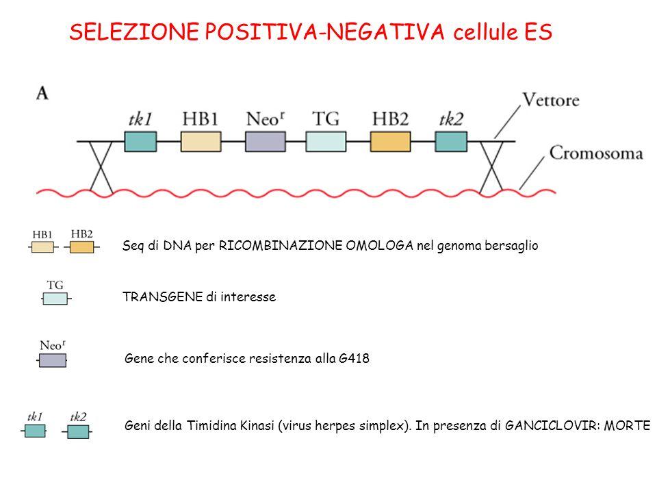 SELEZIONE POSITIVA-NEGATIVA cellule ES