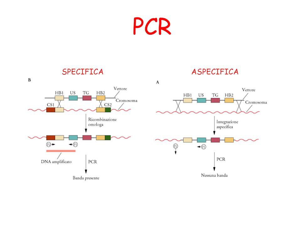 PCR SPECIFICA ASPECIFICA