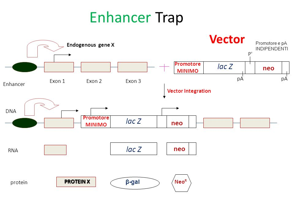 Enhancer Trap Vector neo neo neo Endogenous gene X P lac Z Promotore