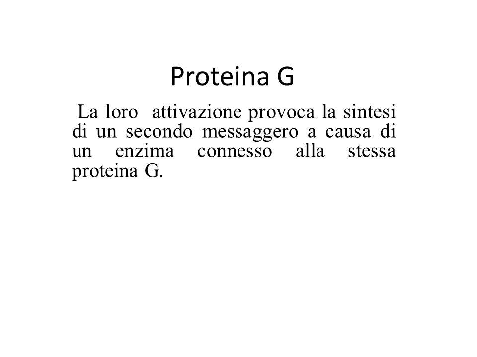 Proteina G La loro attivazione provoca la sintesi di un secondo messaggero a causa di un enzima connesso alla stessa proteina G.