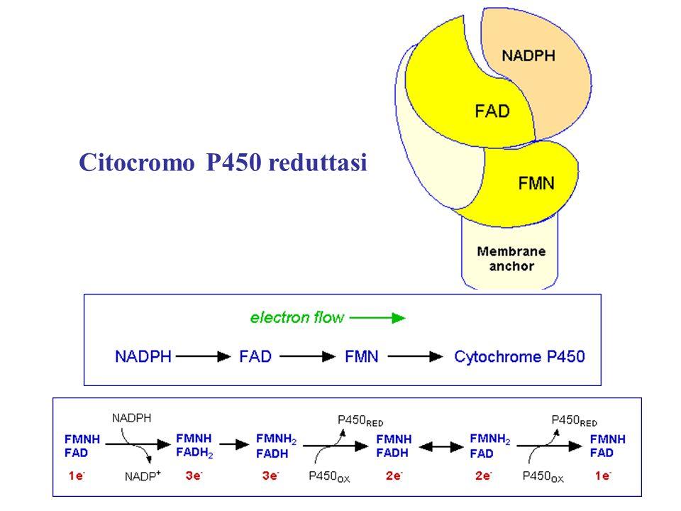 Citocromo P450 reduttasi