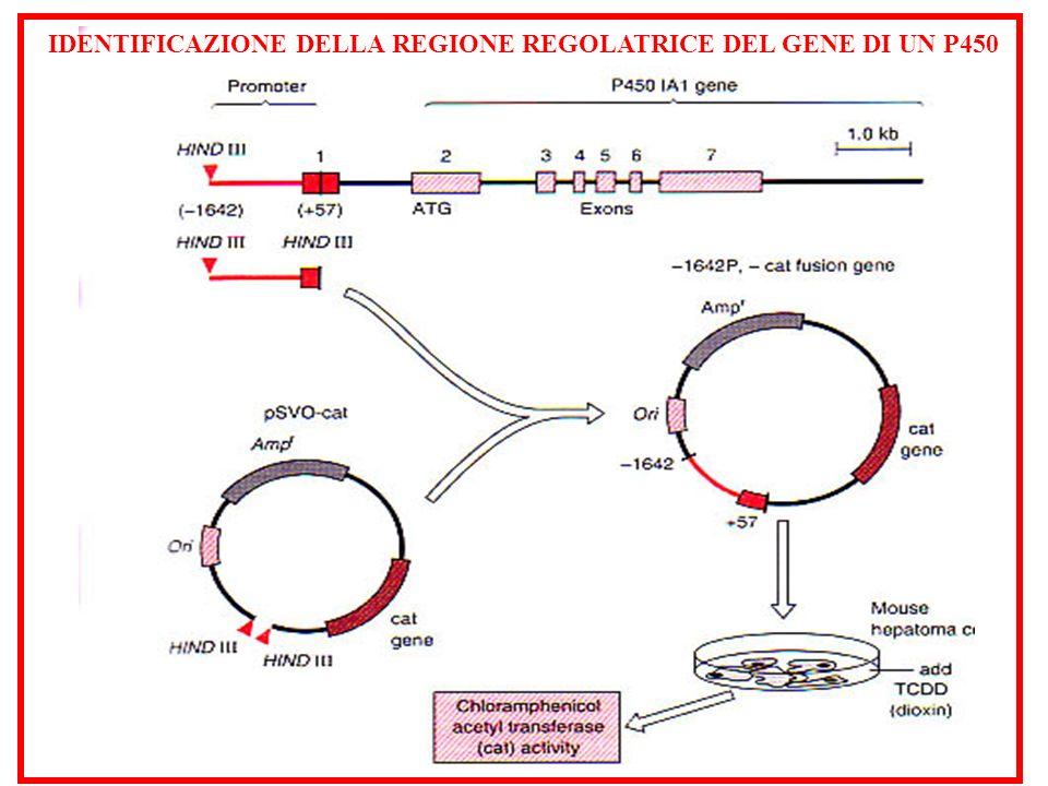 IDENTIFICAZIONE DELLA REGIONE REGOLATRICE DEL GENE DI UN P450