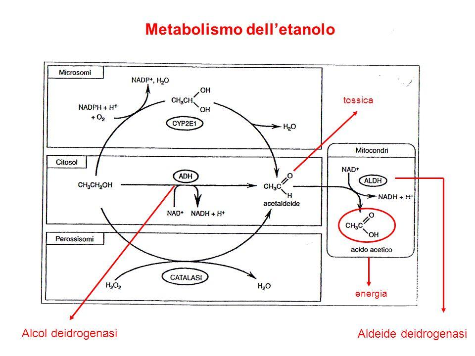 Metabolismo dell'etanolo