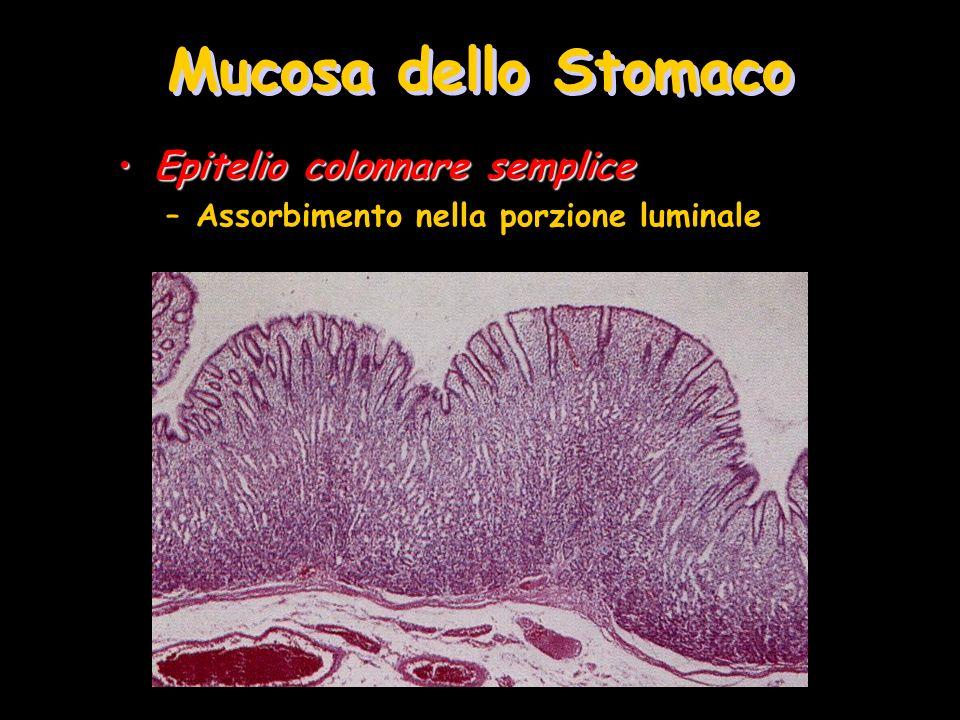 Mucosa dello Stomaco Epitelio colonnare semplice