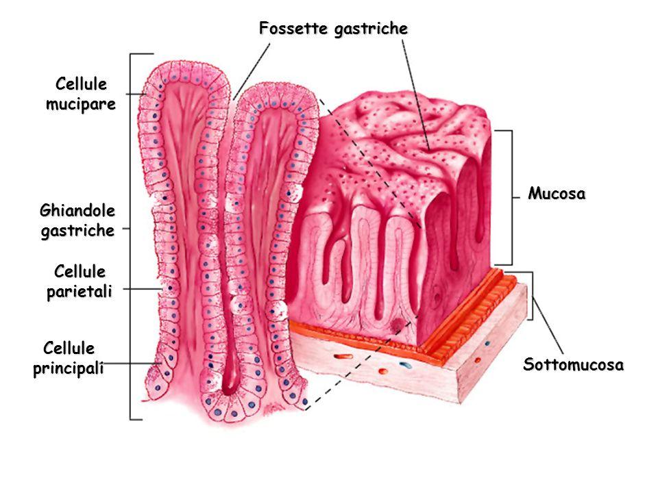 Fossette gastriche Cellule mucipare. Mucosa. Ghiandole gastriche. Cellule parietali. Cellule principali.