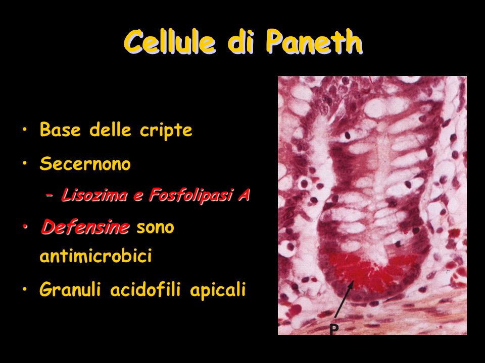 Cellule di Paneth Base delle cripte Secernono