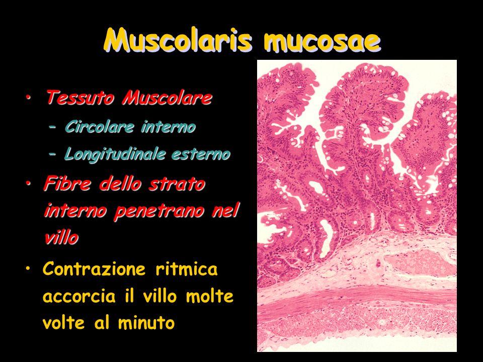 Muscolaris mucosae Tessuto Muscolare
