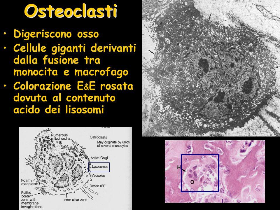 Osteoclasti Digeriscono osso
