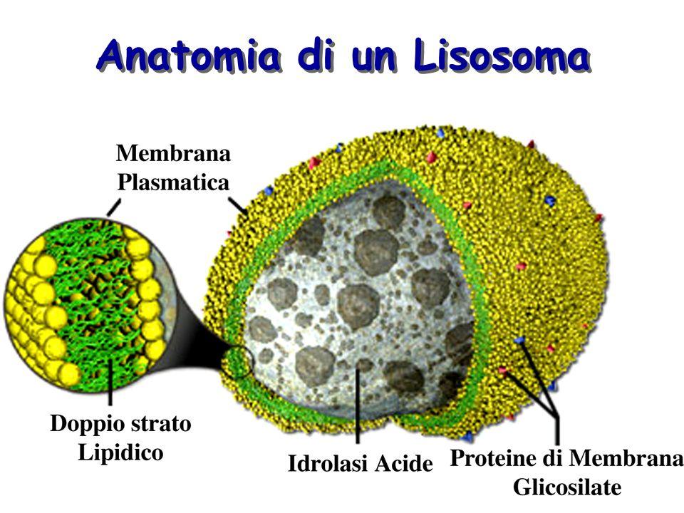 Anatomia di un Lisosoma