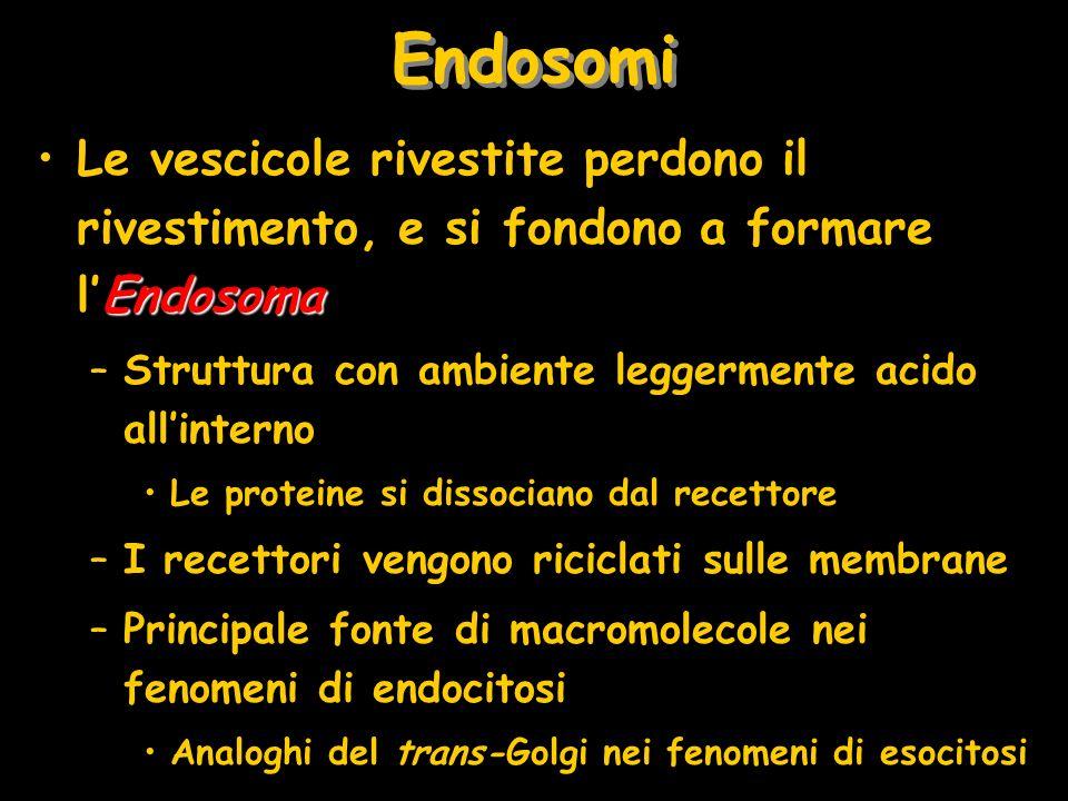 Endosomi Le vescicole rivestite perdono il rivestimento, e si fondono a formare l'Endosoma. Struttura con ambiente leggermente acido all'interno.