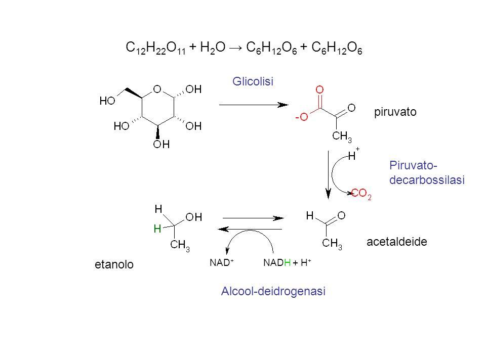 C12H22O11 + H2O → C6H12O6 + C6H12O6 Glicolisi piruvato