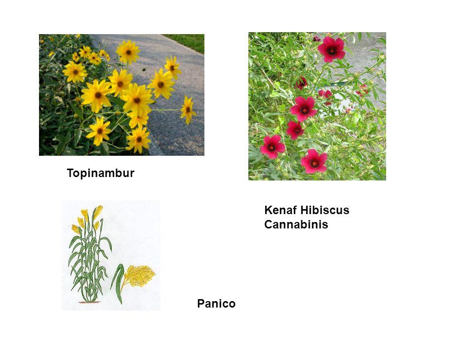 Topinambur Kenaf Hibiscus Cannabinis Panico