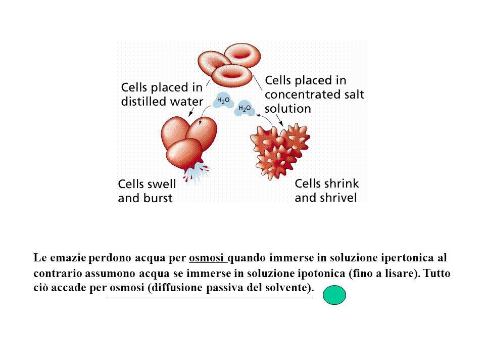Le emazie perdono acqua per osmosi quando immerse in soluzione ipertonica al contrario assumono acqua se immerse in soluzione ipotonica (fino a lisare).