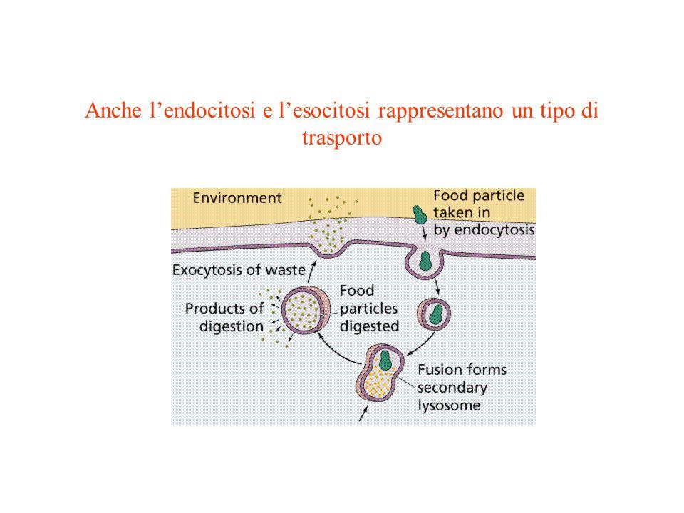 Anche l'endocitosi e l'esocitosi rappresentano un tipo di trasporto