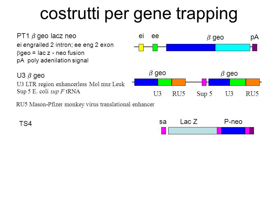 costrutti per gene trapping