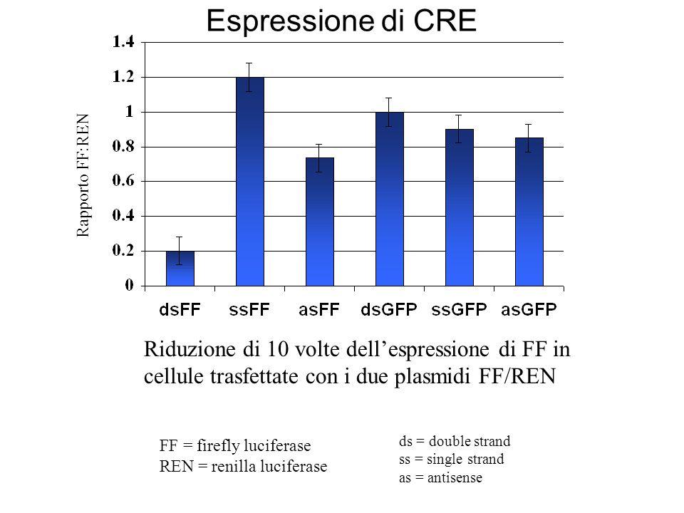 Espressione di CRE Rapporto FF:REN. Riduzione di 10 volte dell'espressione di FF in cellule trasfettate con i due plasmidi FF/REN.