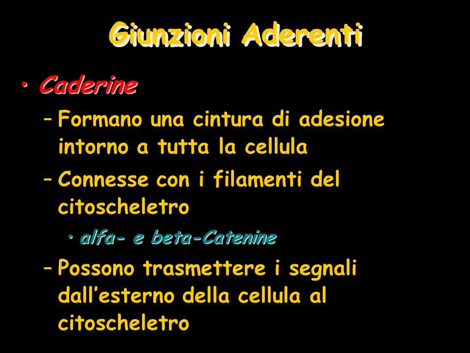 Giunzioni Aderenti Caderine