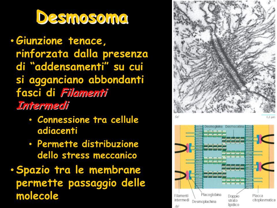 Desmosoma Giunzione tenace, rinforzata dalla presenza di addensamenti su cui si agganciano abbondanti fasci di Filamenti Intermedi.