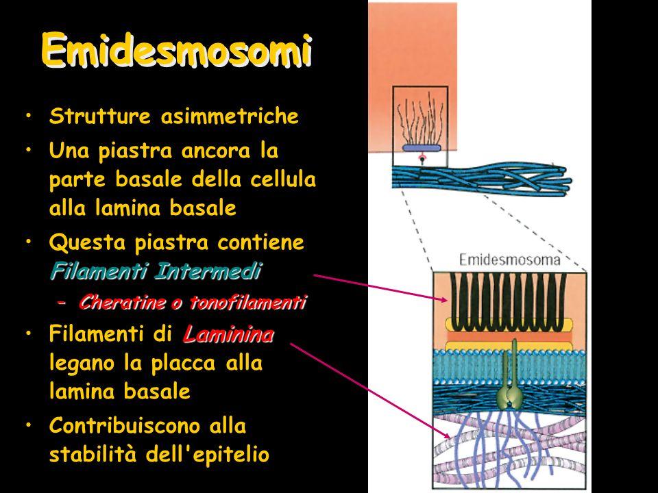 Emidesmosomi Strutture asimmetriche