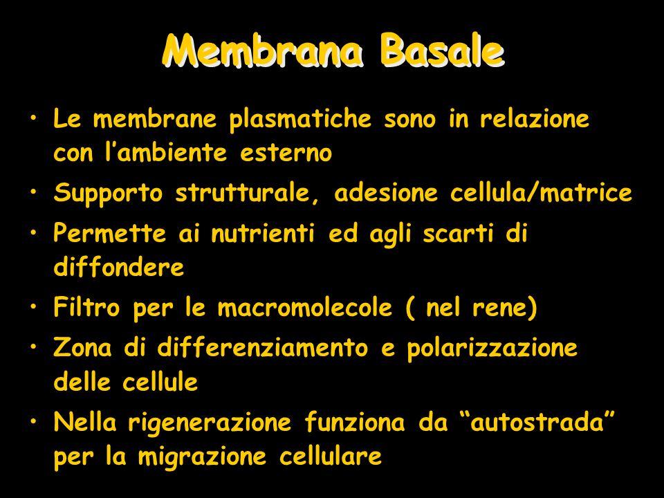 Membrana Basale Le membrane plasmatiche sono in relazione con l'ambiente esterno. Supporto strutturale, adesione cellula/matrice.