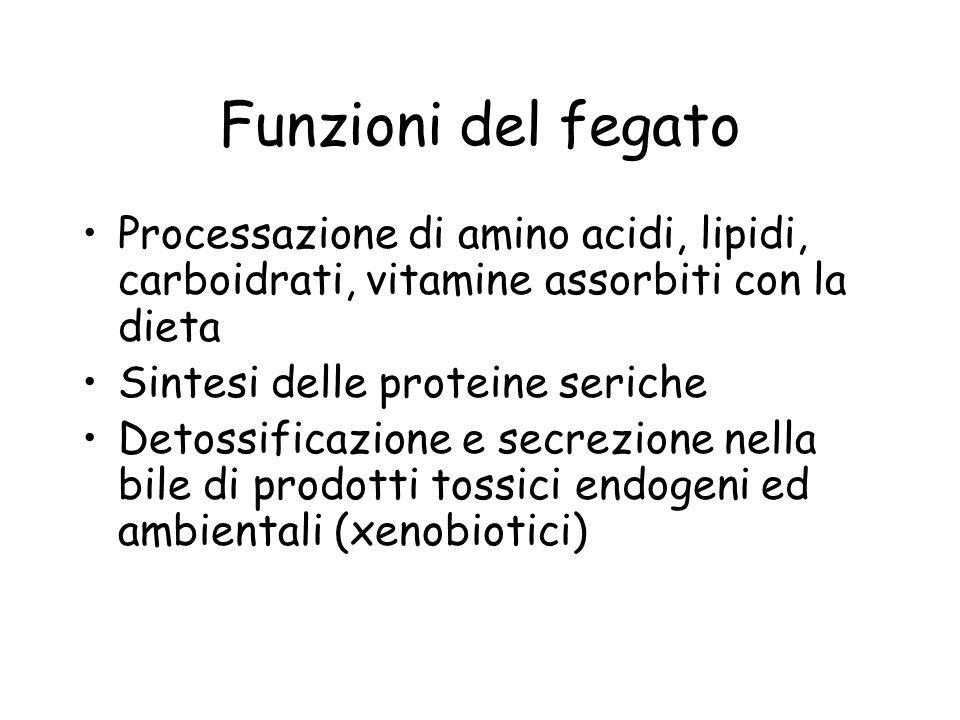 Funzioni del fegato Processazione di amino acidi, lipidi, carboidrati, vitamine assorbiti con la dieta.