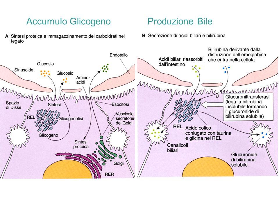 Accumulo Glicogeno Produzione Bile