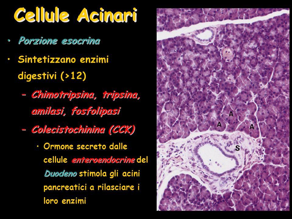 Cellule Acinari Porzione esocrina