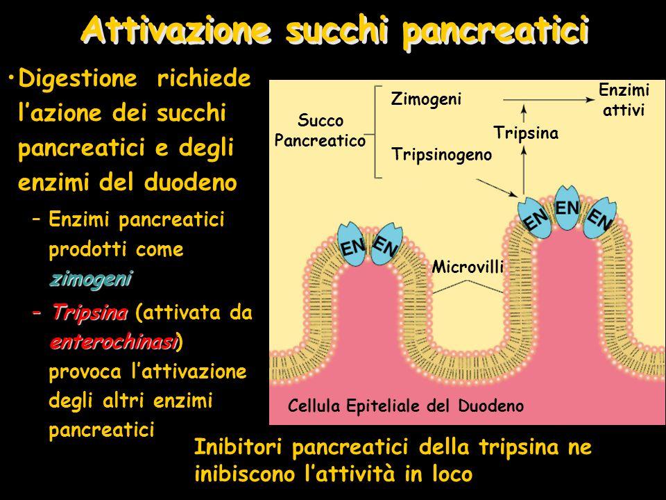 Attivazione succhi pancreatici