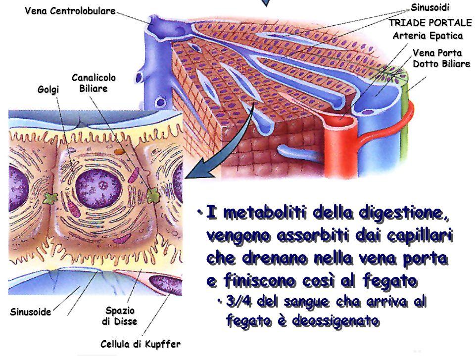 SinusoidiVena Centrolobulare. TRIADE PORTALE. Arteria Epatica. Vena Porta. Dotto Biliare. Canalicolo.