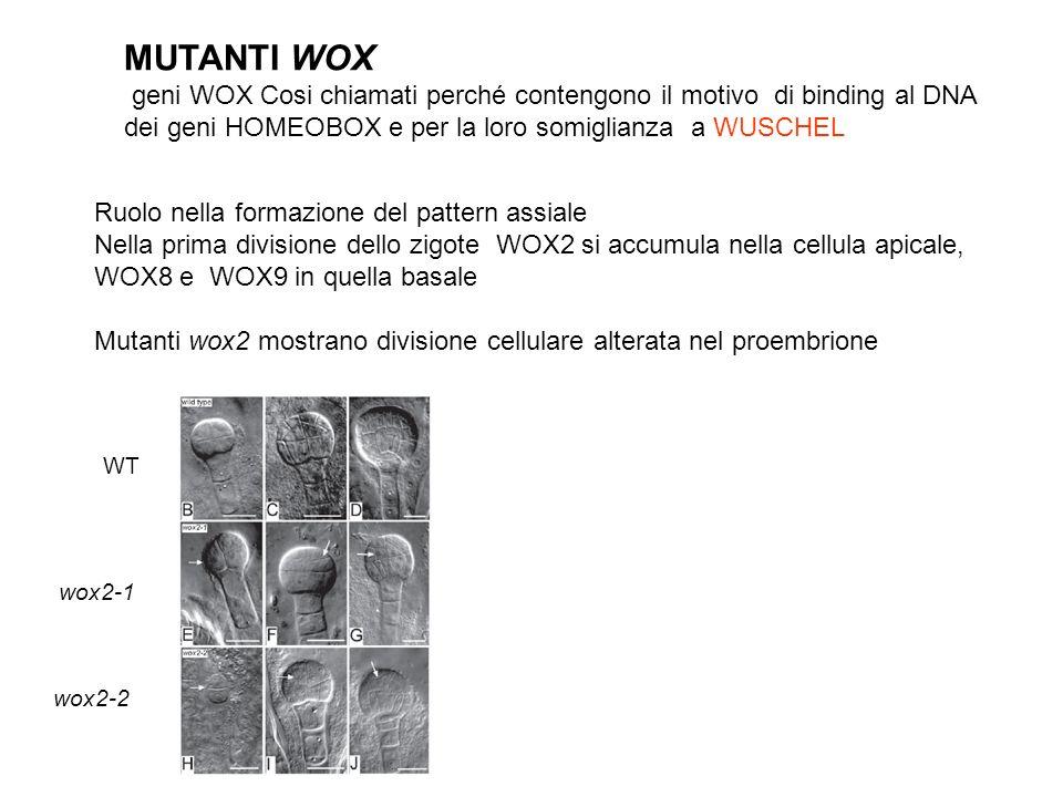MUTANTI WOX geni WOX Cosi chiamati perché contengono il motivo di binding al DNA. dei geni HOMEOBOX e per la loro somiglianza a WUSCHEL.